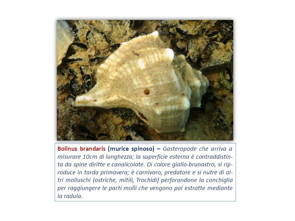 Bolinus brandaris (murice spinoso) – Gasteropode che arriva a misurare 10cm di lunghezza; la superficie esterna è contraddistin- ta da spine diritte e