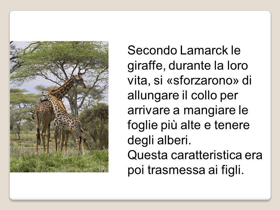 Secondo Lamarck le giraffe, durante la loro vita, si «sforzarono» di allungare il collo per arrivare a mangiare le foglie più alte e tenere degli albe