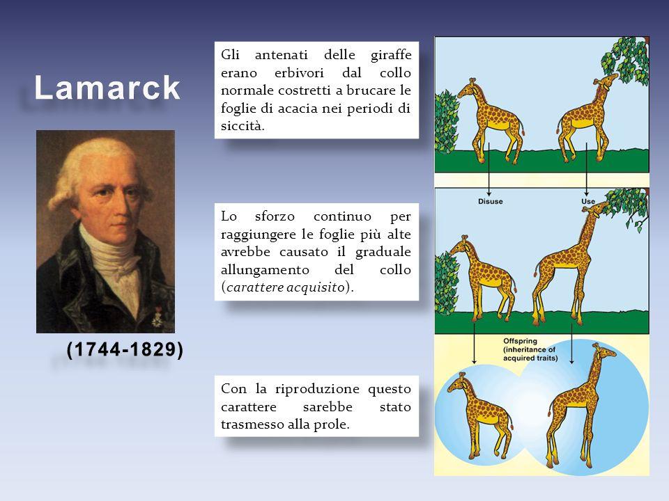 Gli antenati delle giraffe erano erbivori dal collo normale costretti a brucare le foglie di acacia nei periodi di siccità. Lo sforzo continuo per rag