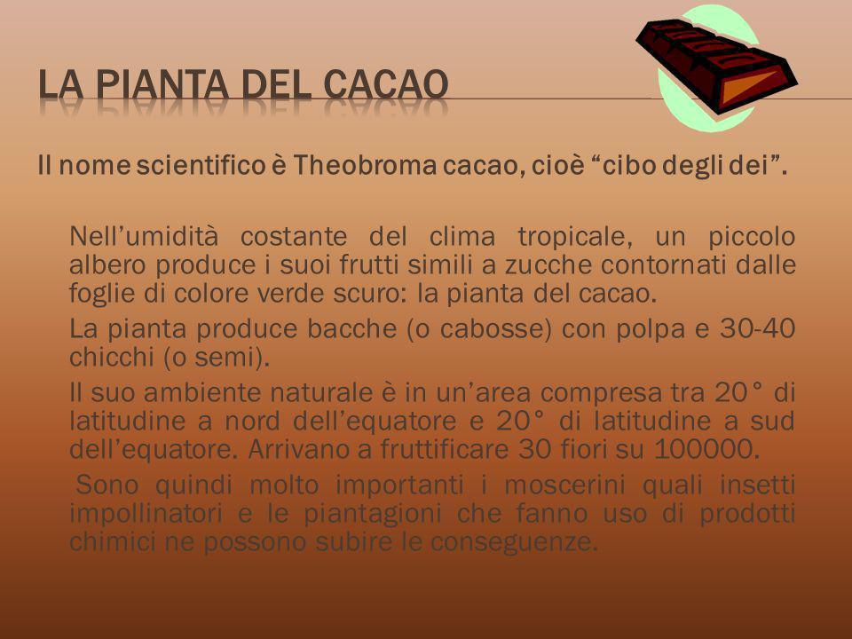 Il nome scientifico è Theobroma cacao, cioè cibo degli dei. Nellumidità costante del clima tropicale, un piccolo albero produce i suoi frutti simili a