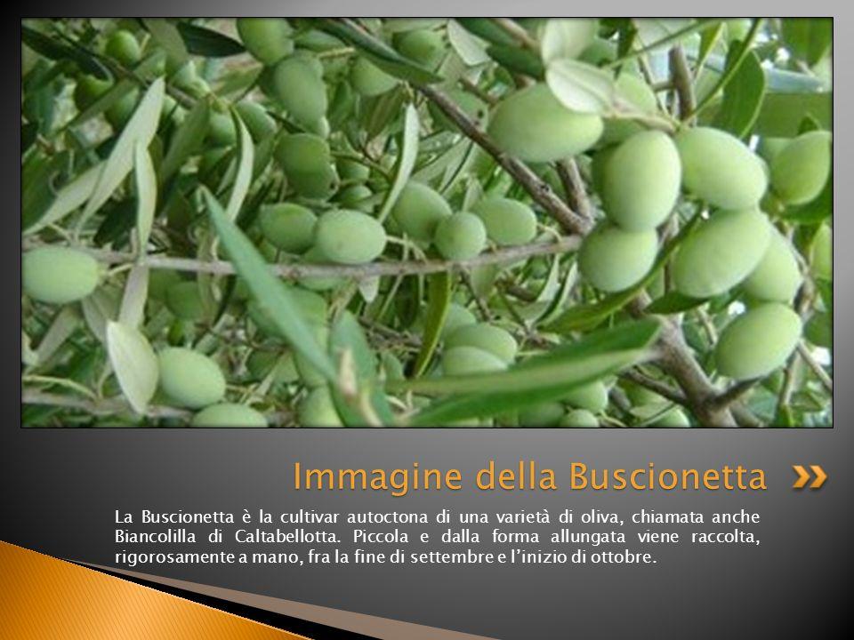 La Buscionetta è la cultivar autoctona di una varietà di oliva, chiamata anche Biancolilla di Caltabellotta. Piccola e dalla forma allungata viene rac