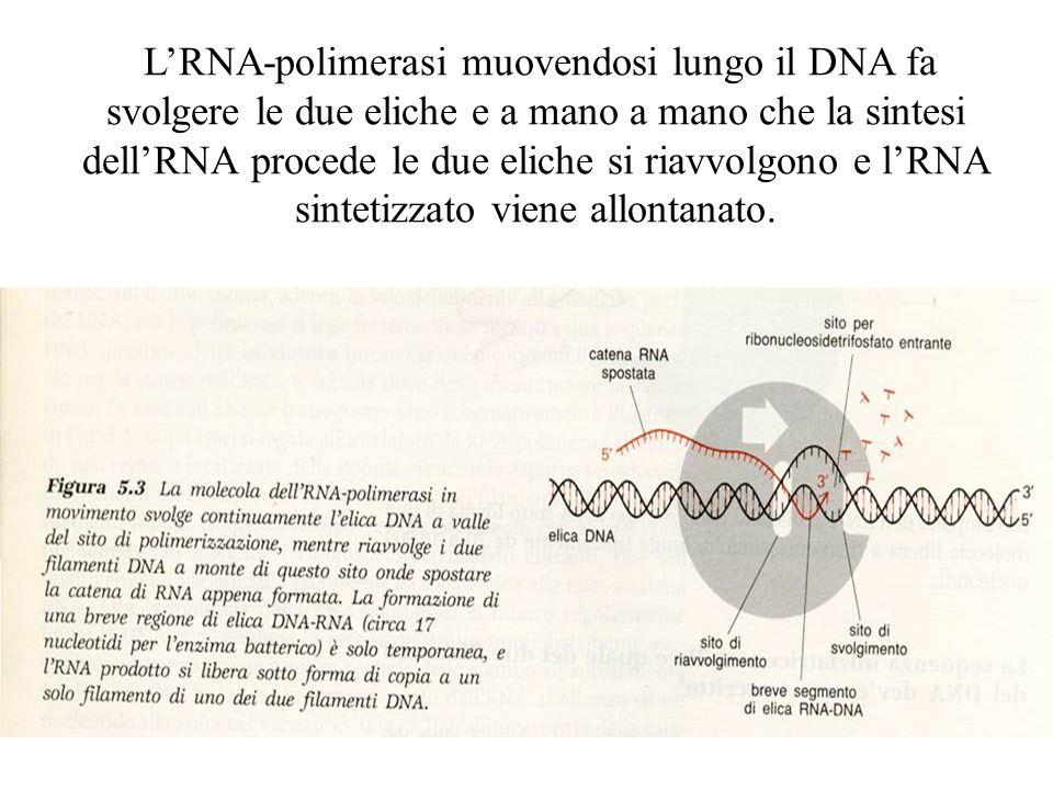 LRNA-polimerasi muovendosi lungo il DNA fa svolgere le due eliche e a mano a mano che la sintesi dellRNA procede le due eliche si riavvolgono e lRNA sintetizzato viene allontanato.