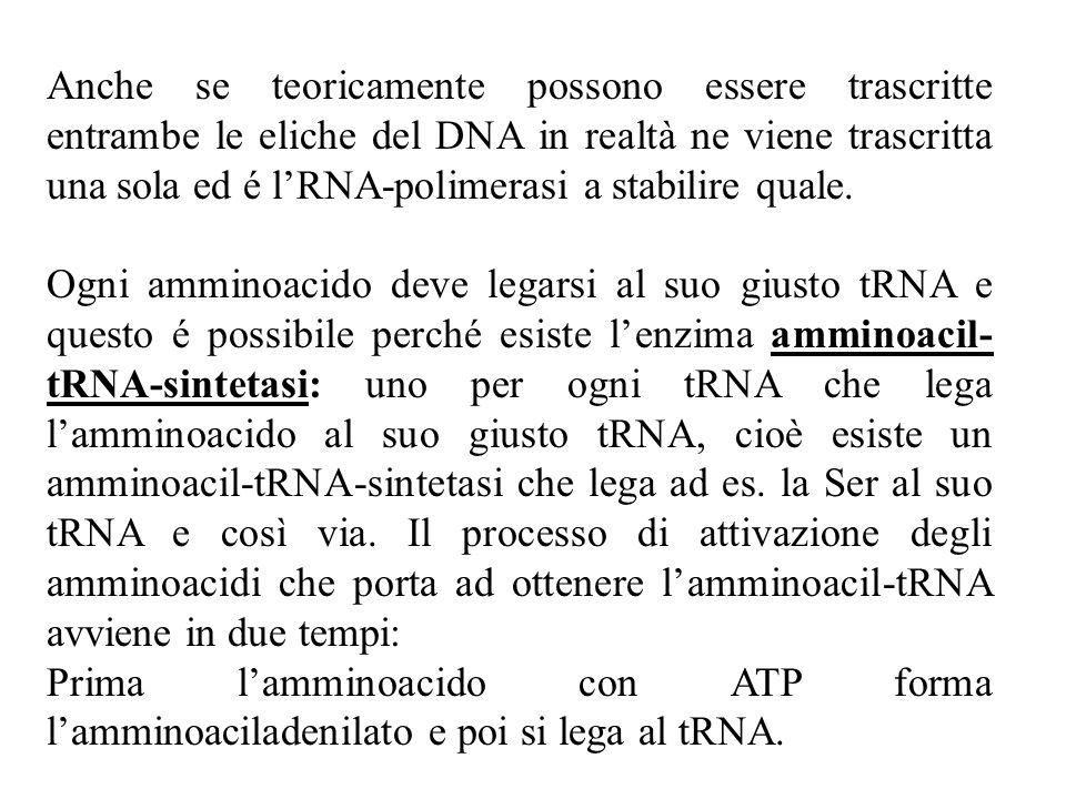 Anche se teoricamente possono essere trascritte entrambe le eliche del DNA in realtà ne viene trascritta una sola ed é lRNA-polimerasi a stabilire quale.