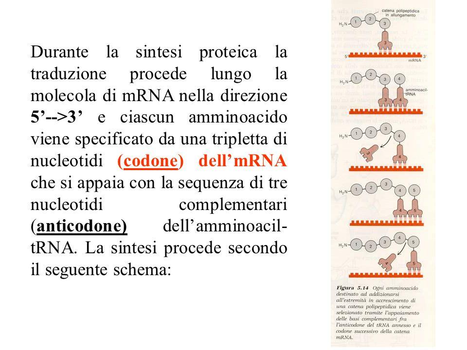Durante la sintesi proteica la traduzione procede lungo la molecola di mRNA nella direzione 5-->3 e ciascun amminoacido viene specificato da una tripletta di nucleotidi (codone) dellmRNA che si appaia con la sequenza di tre nucleotidi complementari (anticodone) dellamminoacil- tRNA.