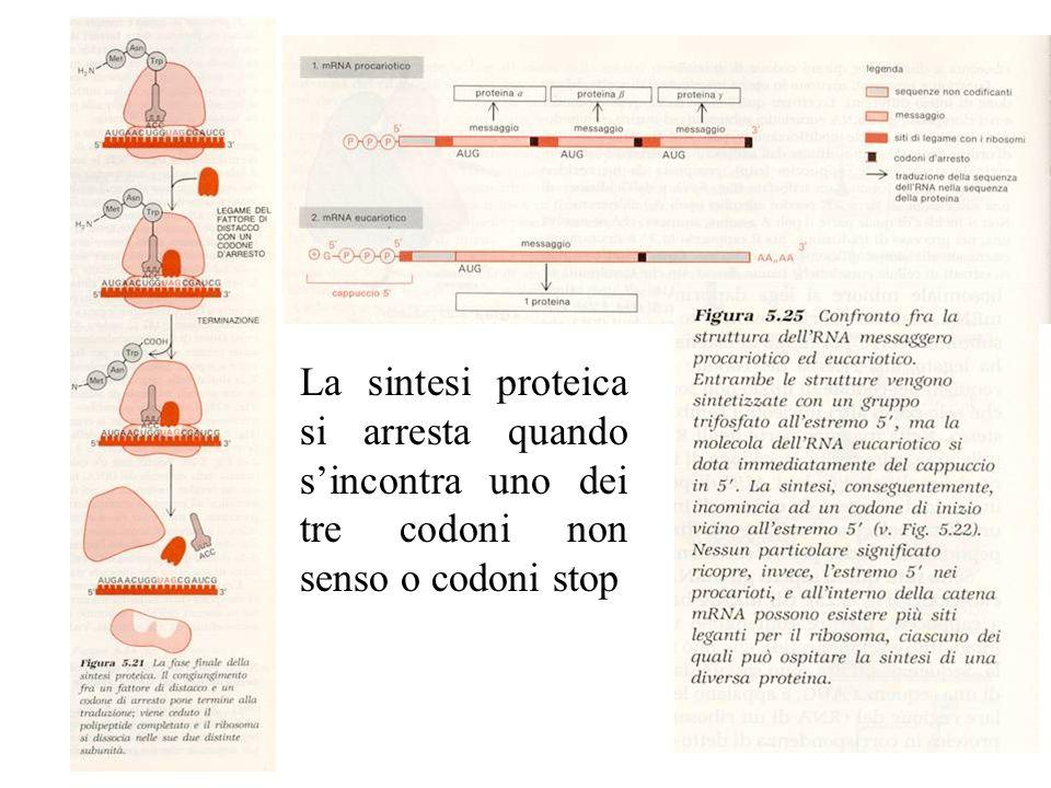 La sintesi proteica si arresta quando sincontra uno dei tre codoni non senso o codoni stop