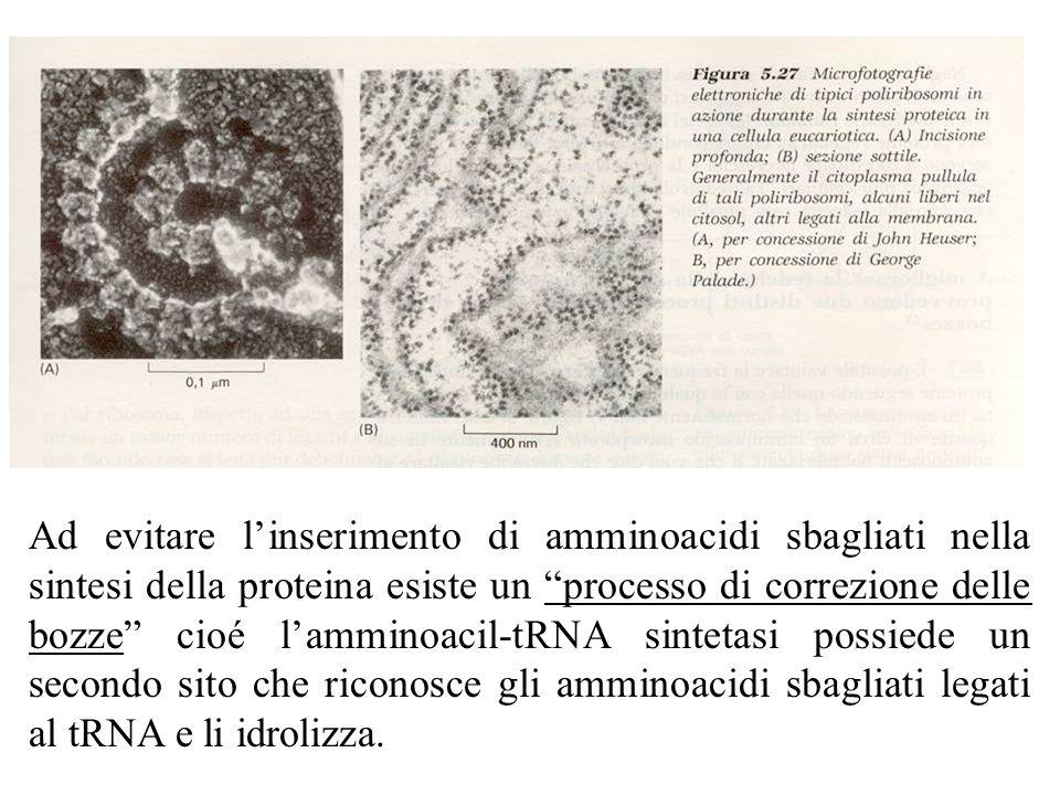Ad evitare linserimento di amminoacidi sbagliati nella sintesi della proteina esiste un processo di correzione delle bozze cioé lamminoacil-tRNA sintetasi possiede un secondo sito che riconosce gli amminoacidi sbagliati legati al tRNA e li idrolizza.