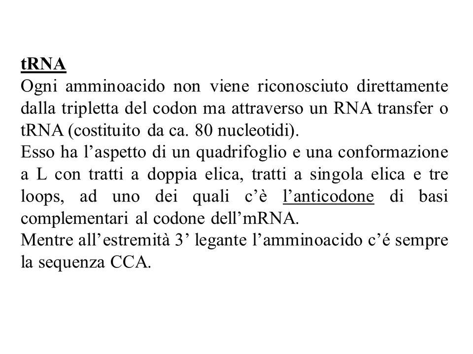 tRNA Ogni amminoacido non viene riconosciuto direttamente dalla tripletta del codon ma attraverso un RNA transfer o tRNA (costituito da ca.