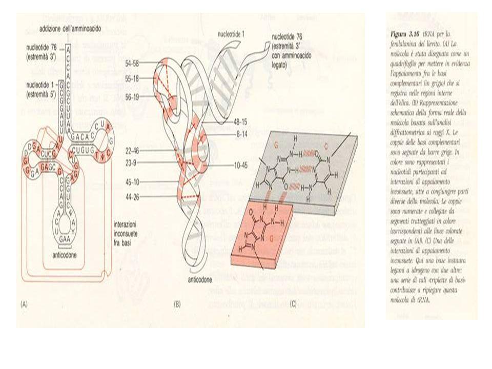 SINTESI DELLRNA E DELLE PROTEINE La sintesi dellRNA su stampo del DNA é nota come Trascrizione del DNA: Con questo processo si sintetizzano i vari tipi di RNA: mRNA; tRNA; rRNA e altre, che vengono tutte sintetizzate su stampo del DNA con lintervento dellRNA-polimerasi che si lega fortemente al sito dinizio contenuto nella sequenza di DNA specifico detto iniziatore (promotore).