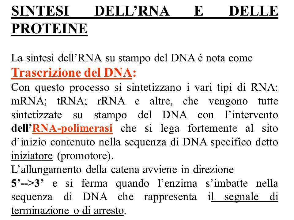 La traduzione dellmRNA cioè la sintesi proteica avviene nel citoplasma, sui ribosomi: organuli costituiti da due subunità.