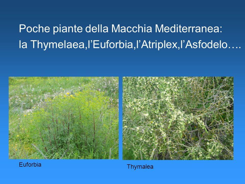 Poche piante della Macchia Mediterranea: la Thymelaea,lEuforbia,lAtriplex,lAsfodelo…. Aggiungere Immagini euforbia… Euforbia Thymalea