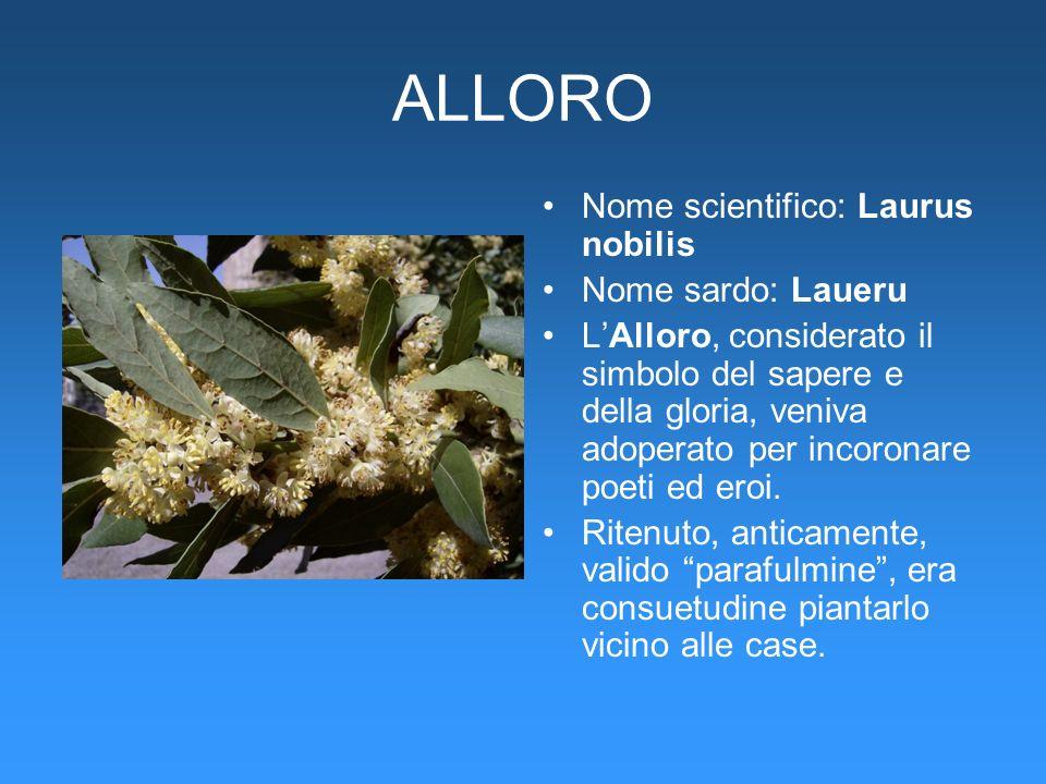 ALLORO Nome scientifico: Laurus nobilis Nome sardo: Laueru LAlloro, considerato il simbolo del sapere e della gloria, veniva adoperato per incoronare