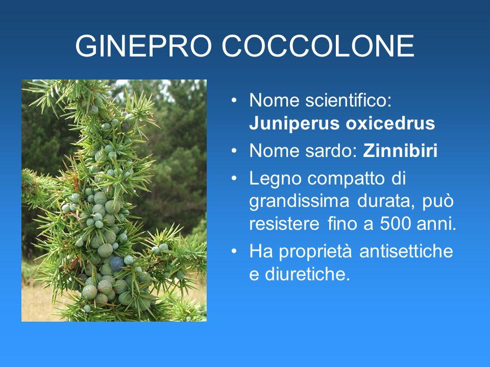 GINEPRO COCCOLONE Nome scientifico: Juniperus oxicedrus Nome sardo: Zinnibiri Legno compatto di grandissima durata, può resistere fino a 500 anni. Ha