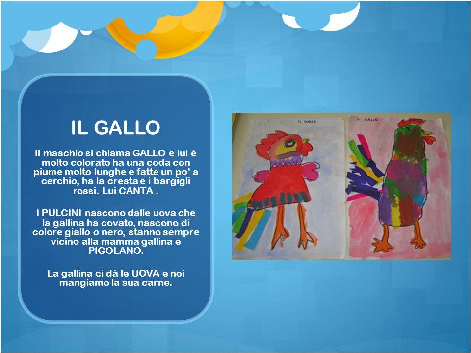IL GALLO Il maschio si chiama GALLO e lui è molto colorato ha una coda con piume molto lunghe e fatte un po a cerchio, ha la cresta e i bargigli rossi