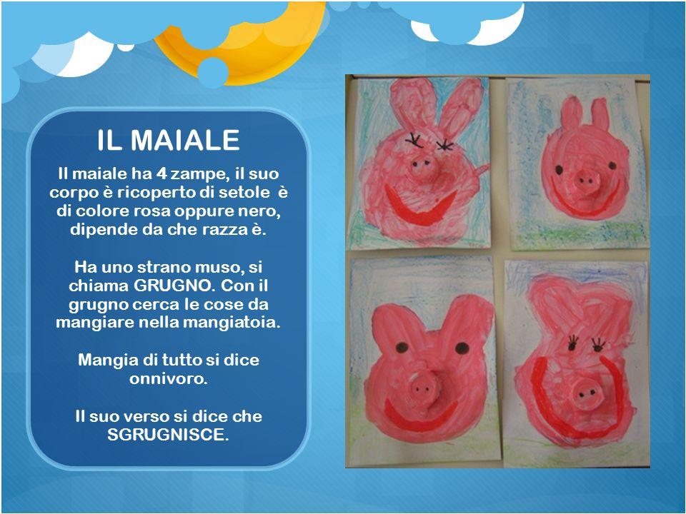 IL MAIALE Il maiale ha 4 zampe, il suo corpo è ricoperto di setole è di colore rosa oppure nero, dipende da che razza è. Ha uno strano muso, si chiama