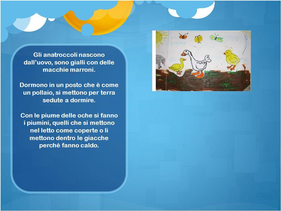 Gli anatroccoli nascono dalluovo, sono gialli con delle macchie marroni. Dormono in un posto che è come un pollaio, si mettono per terra sedute a dorm