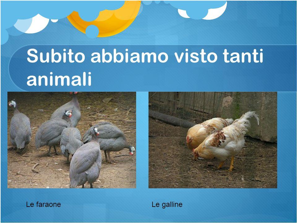 Subito abbiamo visto tanti animali Le faraoneLe galline