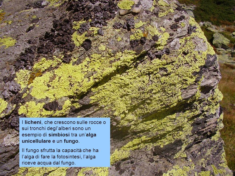 I licheni, che crescono sulle rocce o sui tronchi deglalberi sono un esempio di simbiosi tra unalga unicellulare e un fungo.