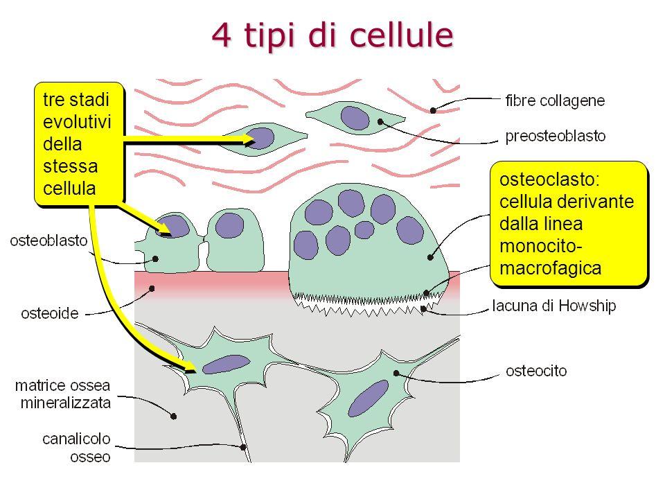 4 tipi di cellule tre stadi evolutivi della stessa cellula osteoclasto: cellula derivante dalla linea monocito- macrofagica