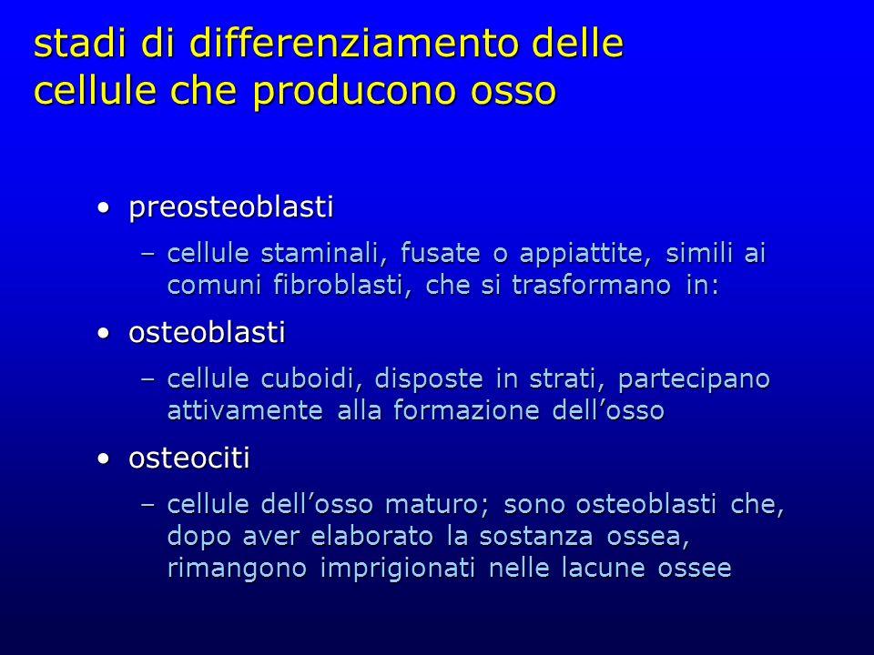 stadi di differenziamento delle cellule che producono osso preosteoblastipreosteoblasti –cellule staminali, fusate o appiattite, simili ai comuni fibr