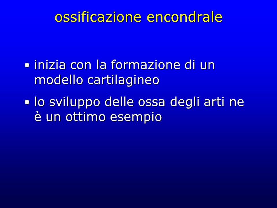 ossificazione encondrale inizia con la formazione di un modello cartilagineoinizia con la formazione di un modello cartilagineo lo sviluppo delle ossa
