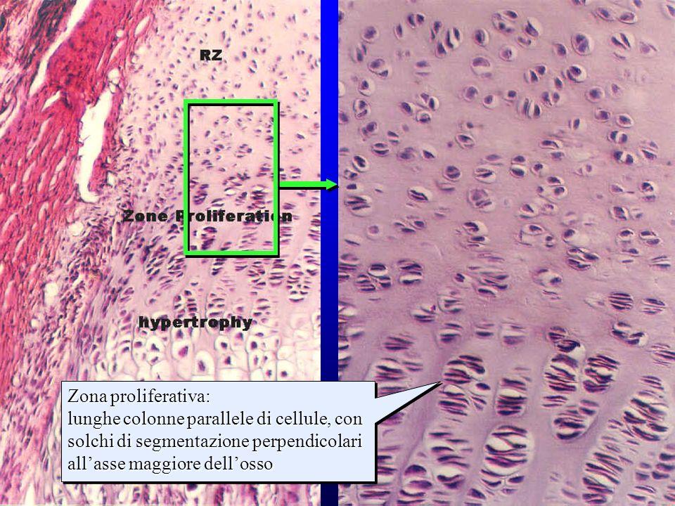 strati della cartilagine di accrescimento (1) Zona proliferativa: lunghe colonne parallele di cellule, con solchi di segmentazione perpendicolari alla