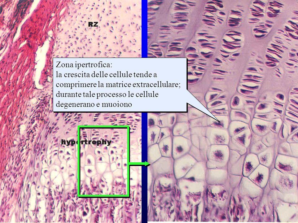 strati della cartilagine di accrescimento (2) Zona ipertrofica: la crescita delle cellule tende a comprimere la matrice extracellulare; durante tale p