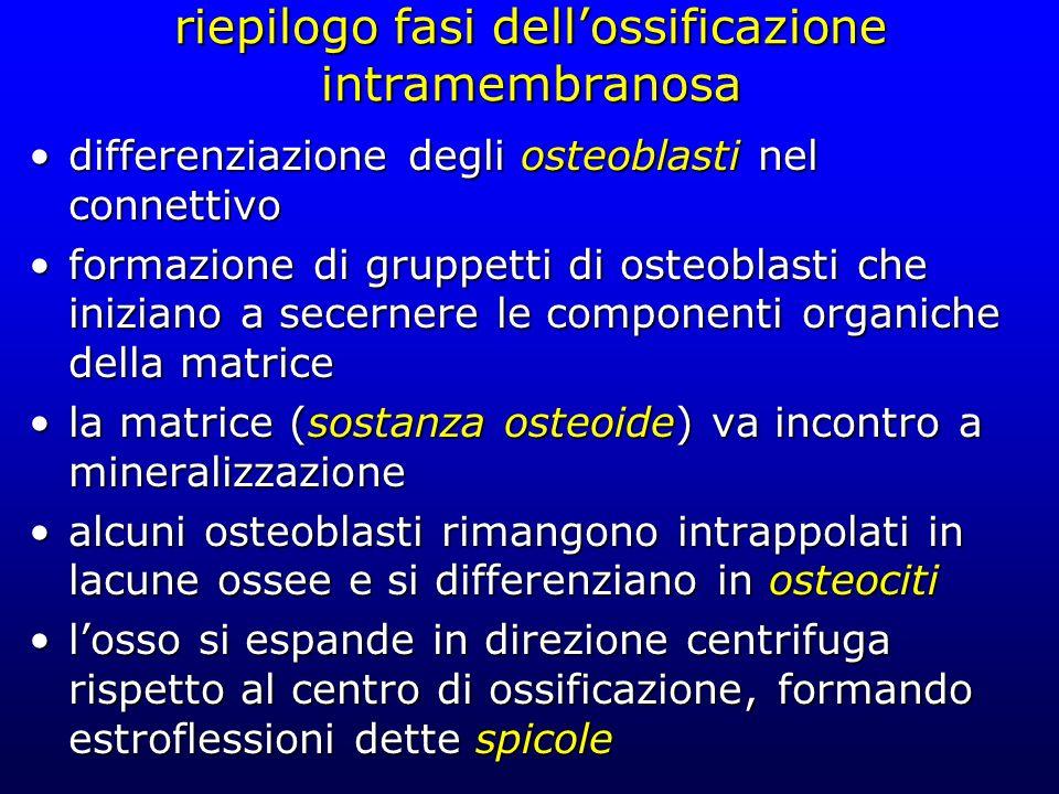 riepilogo fasi dellossificazione intramembranosa differenziazione degli osteoblasti nel connettivodifferenziazione degli osteoblasti nel connettivo fo