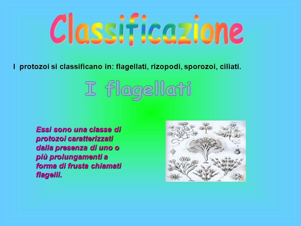 I protozoi si classificano in: flagellati, rizopodi, sporozoi, ciliati. Essi sono una classe di protozoi caratterizzati dalla presenza di uno o più pr