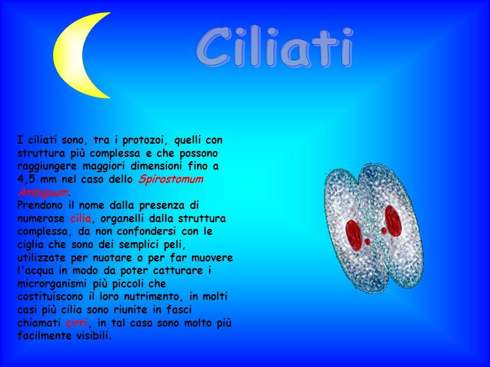 I ciliati sono, tra i protozoi, quelli con struttura più complessa e che possono raggiungere maggiori dimensioni fino a 4,5 mm nel caso dello Spirosto