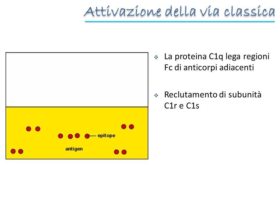 La proteina C1q lega regioni Fc di anticorpi adiacenti Reclutamento di subunità C1r e C1s Attivazione della via classica