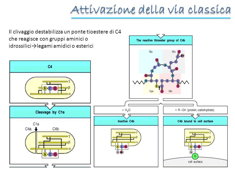Il clivaggio destabilizza un ponte tioestere di C4 che reagisce con gruppi aminici o idrossilicilegami amidici o esterici