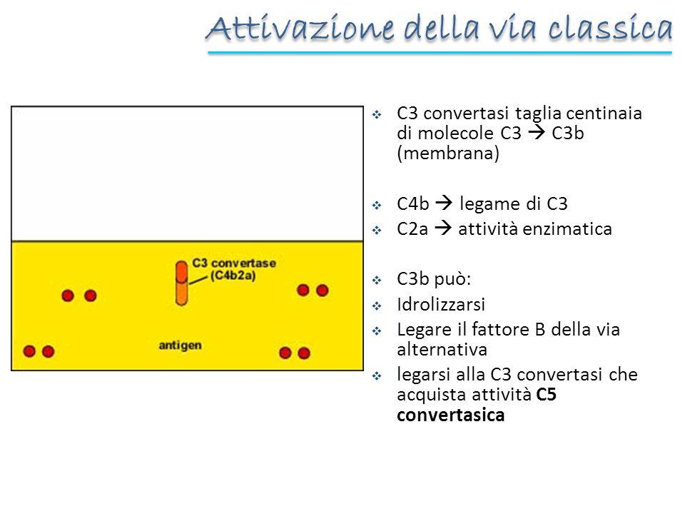 C3 convertasi taglia centinaia di molecole C3 C3b (membrana) C4b legame di C3 C2a attività enzimatica C3b può: Idrolizzarsi Legare il fattore B della