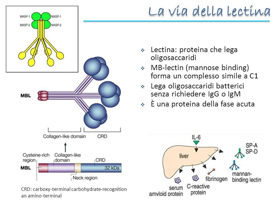 Lectina: proteina che lega oligosaccaridi MB-lectin (mannose binding) forma un complesso simile a C1 Lega oligosaccaridi batterici senza richiedere Ig