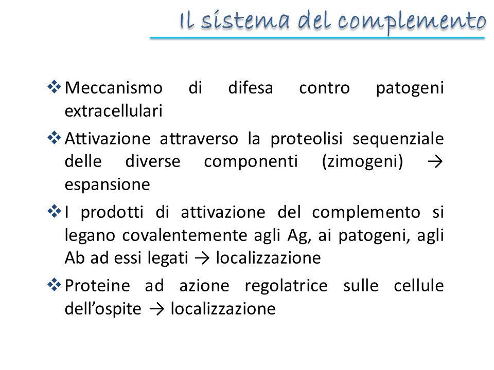 Il sistema del complemento Meccanismo di difesa contro patogeni extracellulari Attivazione attraverso la proteolisi sequenziale delle diverse componen
