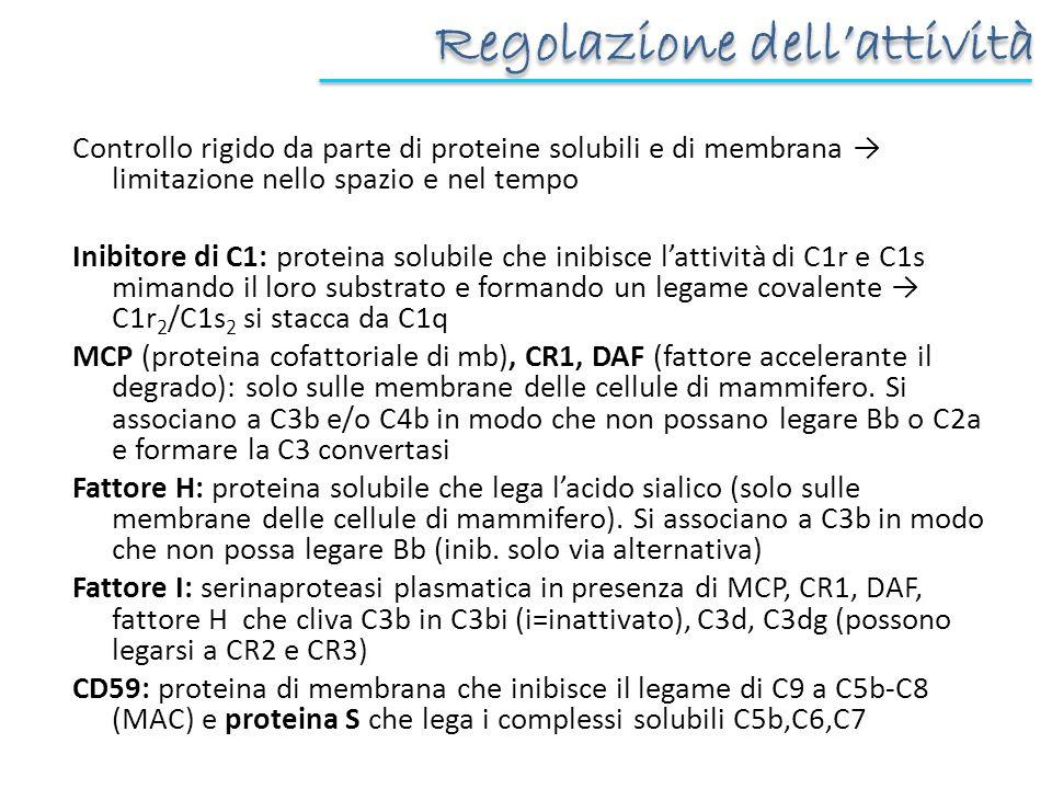 Regolazione dellattività Controllo rigido da parte di proteine solubili e di membrana limitazione nello spazio e nel tempo Inibitore di C1: proteina s