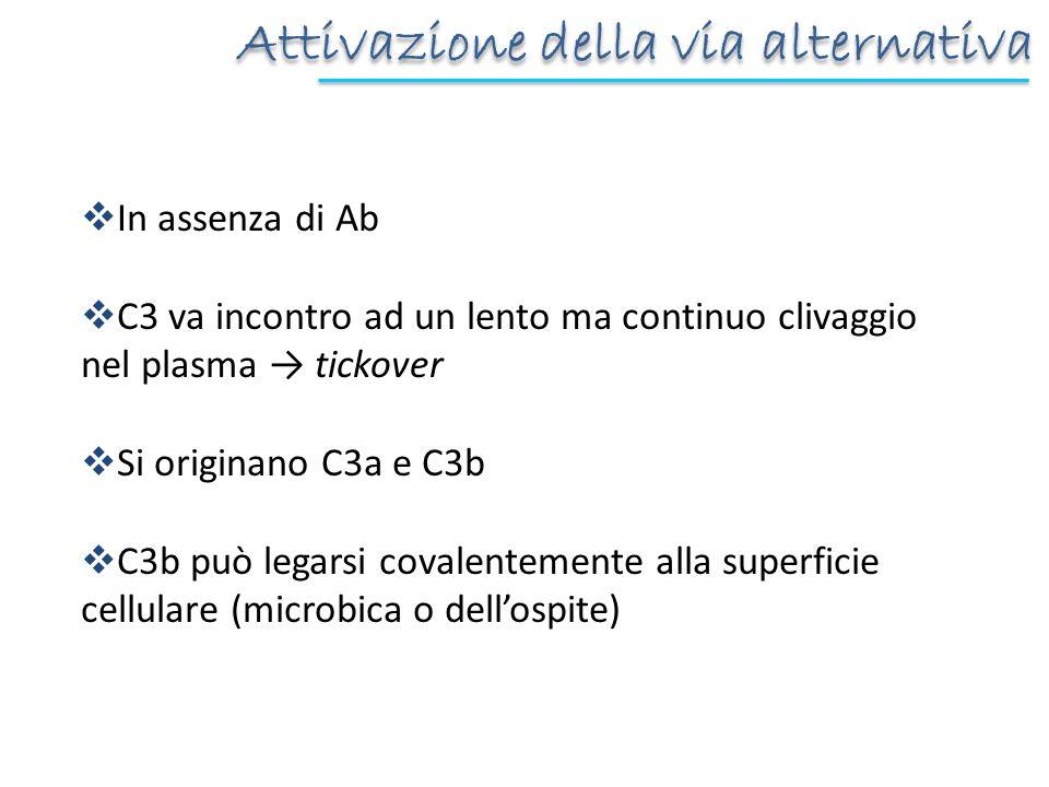 Attivazione della via alternativa In assenza di Ab C3 va incontro ad un lento ma continuo clivaggio nel plasma tickover Si originano C3a e C3b C3b può