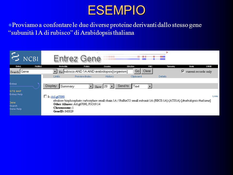 ESEMPIO Proviamo a confontare le due diverse proteine derivanti dallo stesso gene subunità 1A di rubisco di Arabidopsis thaliana
