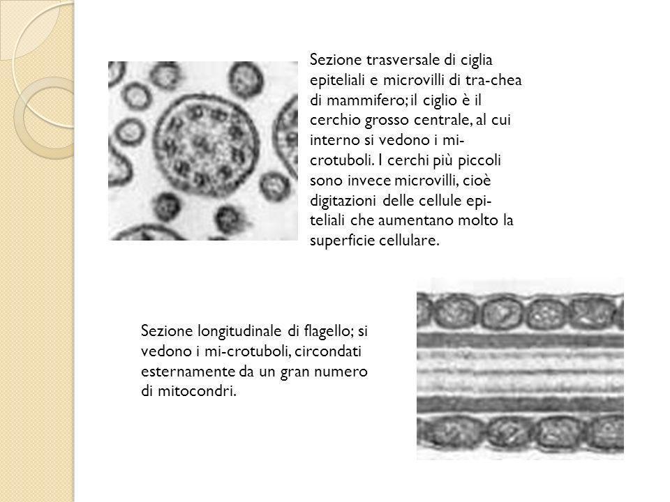 Sezione trasversale di ciglia epiteliali e microvilli di tra-chea di mammifero; il ciglio è il cerchio grosso centrale, al cui interno si vedono i mi-