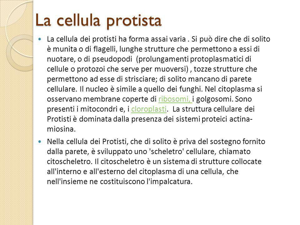 La cellula protista La cellula dei protisti ha forma assai varia. Si può dire che di solito è munita o di flagelli, lunghe strutture che permettono a