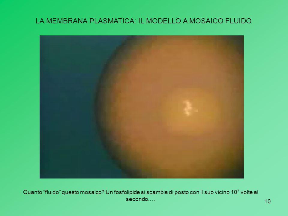 10 LA MEMBRANA PLASMATICA: IL MODELLO A MOSAICO FLUIDO Quanto fluido questo mosaico? Un fosfolipide si scambia di posto con il suo vicino 10 7 volte a