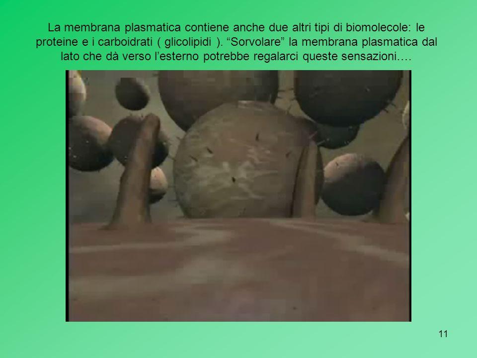 11 La membrana plasmatica contiene anche due altri tipi di biomolecole: le proteine e i carboidrati ( glicolipidi ). Sorvolare la membrana plasmatica