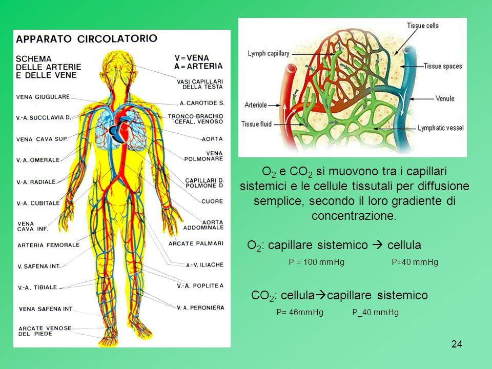 24 O 2 e CO 2 si muovono tra i capillari sistemici e le cellule tissutali per diffusione semplice, secondo il loro gradiente di concentrazione. O 2 :