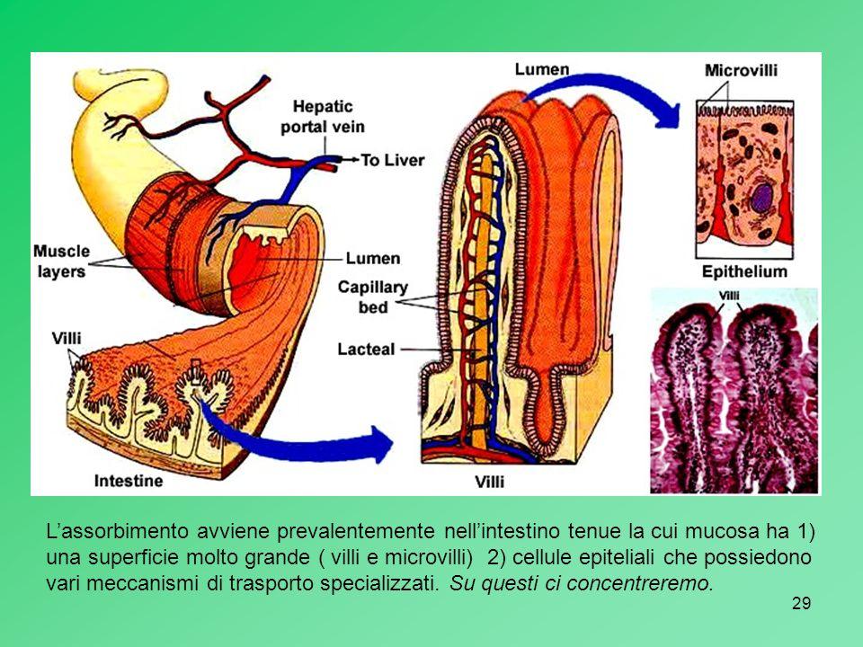 29 Lassorbimento avviene prevalentemente nellintestino tenue la cui mucosa ha 1) una superficie molto grande ( villi e microvilli) 2) cellule epitelia