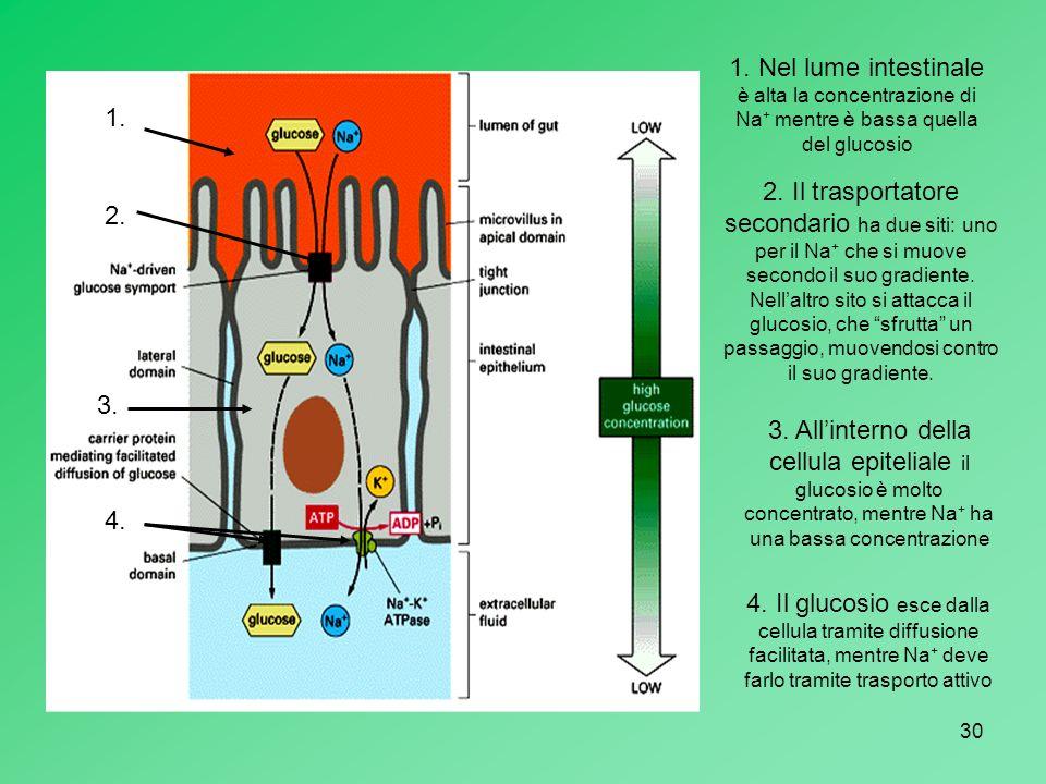30 1. Nel lume intestinale è alta la concentrazione di Na + mentre è bassa quella del glucosio 2. Il trasportatore secondario ha due siti: uno per il