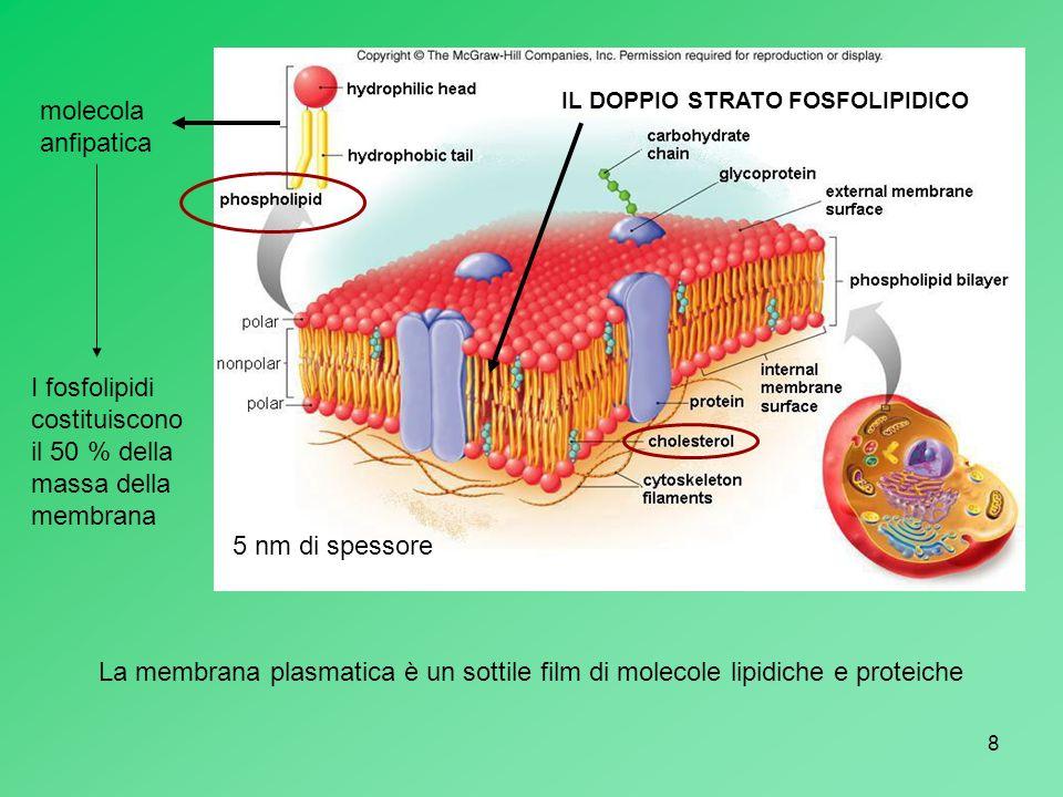 8 molecola anfipatica IL DOPPIO STRATO FOSFOLIPIDICO 5 nm di spessore I fosfolipidi costituiscono il 50 % della massa della membrana La membrana plasm