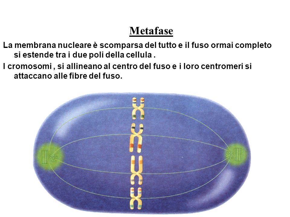 Metafase La membrana nucleare è scomparsa del tutto e il fuso ormai completo si estende tra i due poli della cellula. I cromosomi, si allineano al cen