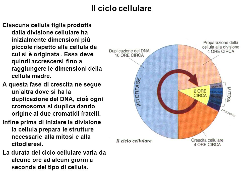Il ciclo cellulare Ciascuna cellula figlia prodotta dalla divisione cellulare ha inizialmente dimensioni più piccole rispetto alla cellula da cui si è