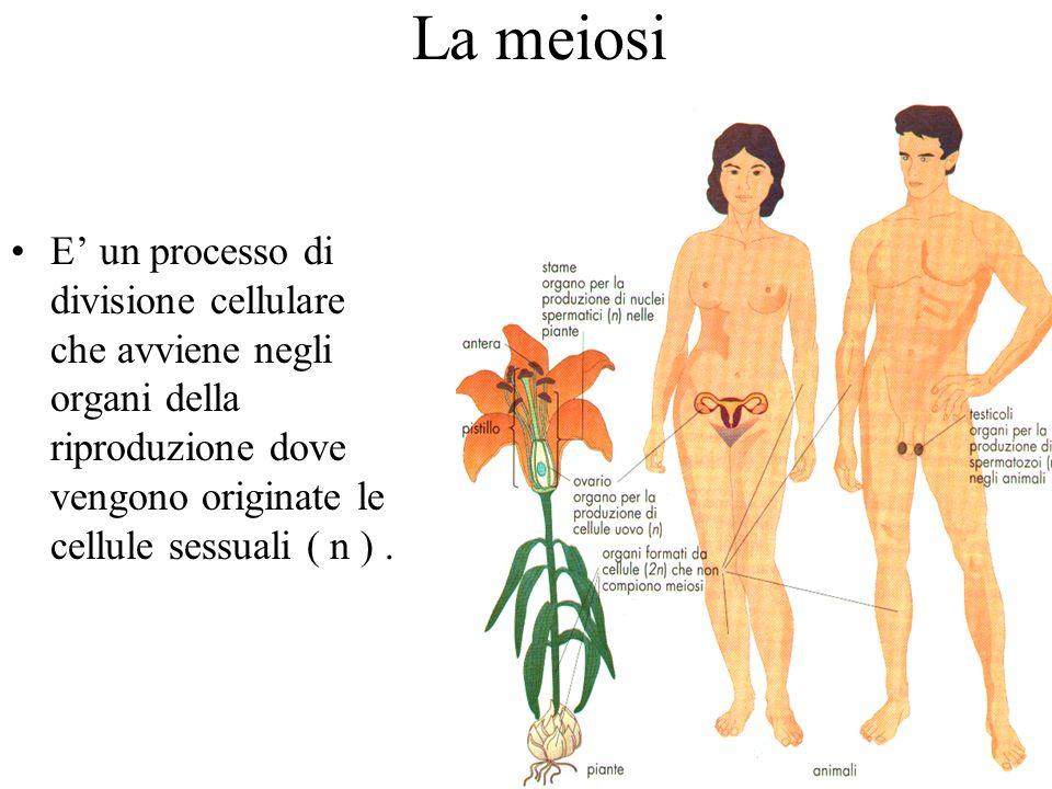 La meiosi E un processo di divisione cellulare che avviene negli organi della riproduzione dove vengono originate le cellule sessuali ( n ).