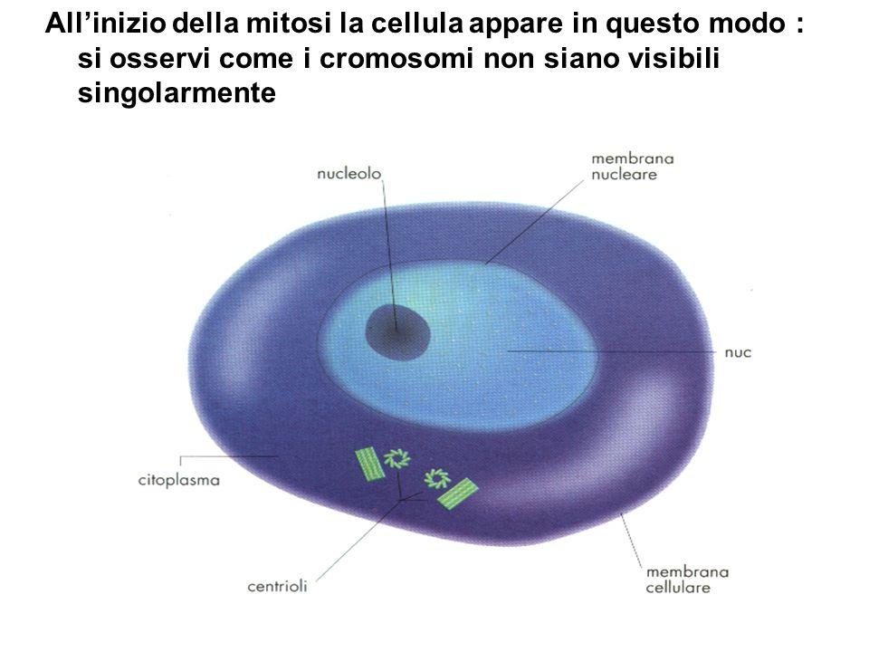 Allinizio della mitosi la cellula appare in questo modo : si osservi come i cromosomi non siano visibili singolarmente