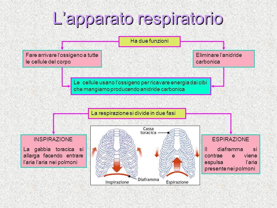Lapparato respiratorio Fare arrivare lossigeno a tutte le cellule del corpo Eliminare lanidride carbonica Ha due funzioni La respirazione si divide in